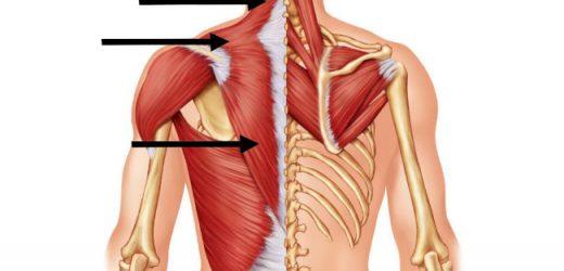 Que sont les muscles paraspinaux ?