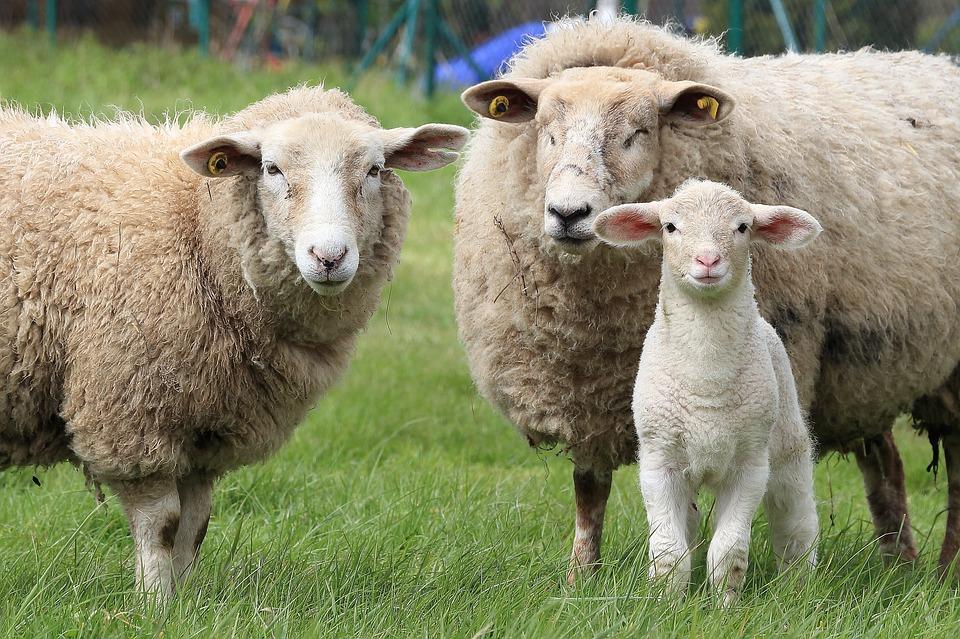 Différence entre agneaux et moutons