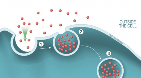 Différence entre endocytose et exocytose