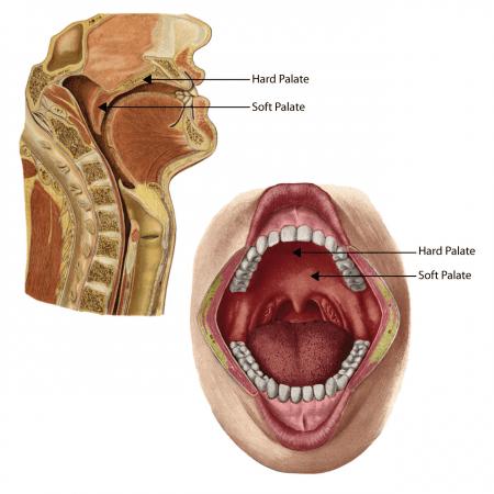 Différence entre le palais dur et mou - Anatomie de la bouche