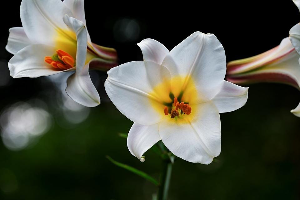Quelle est la signification du lys blanc?