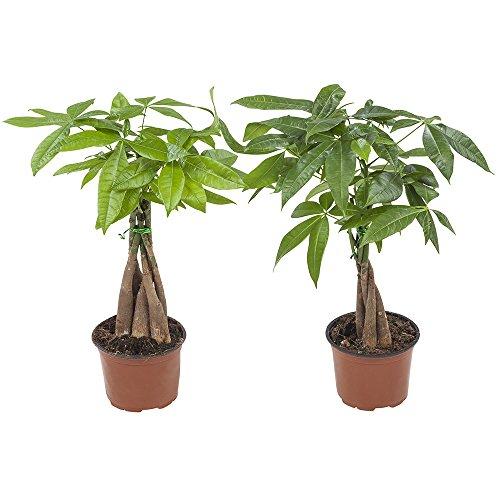 Plantes d'intérieur de Botanicly - 2 × Cacaoyer-rivière - Hauteur: 35 cm - Pachira aquatica