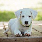 Quelle Alimentation pour chien hépatique ?