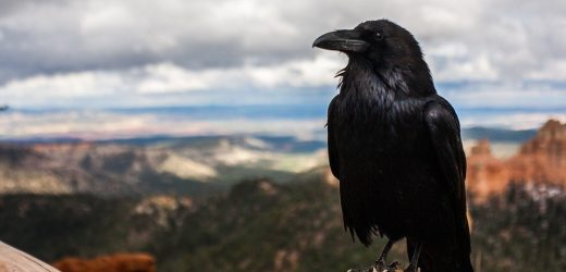 Différence Entre Un Corbeau Et Une Corneille