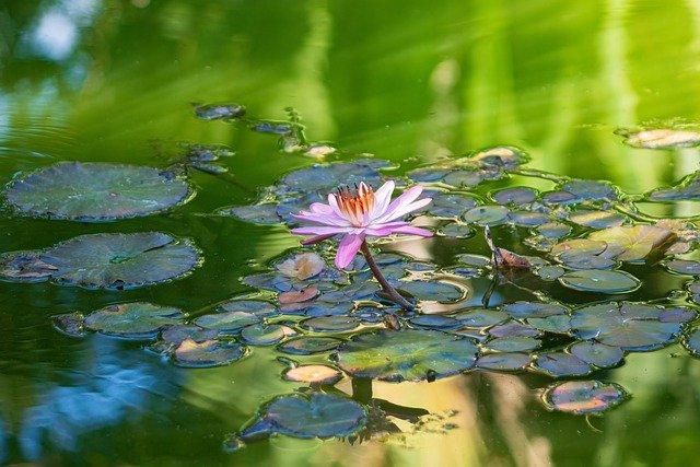 Différence Entre Lotus Et Nénuphar